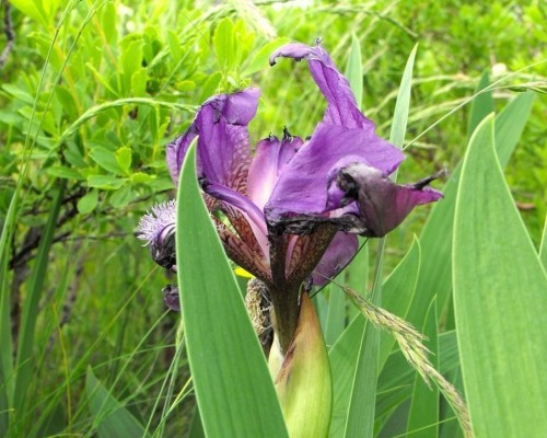 Cum sa desenezi cea mai frumoasa floare de iris